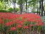 국채보상운동기념공원에 9월의 대표꽃 추석을 전후하여 꽃이피는 꽃무릇(석산),꽃,효능,유래,전설.