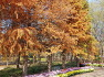 대구수목원에 뿌리에는 천불상을 연출하고 씨앗에 항암효능이 있는 낙우송(수향목),단풍,효능,유래,차이점.
