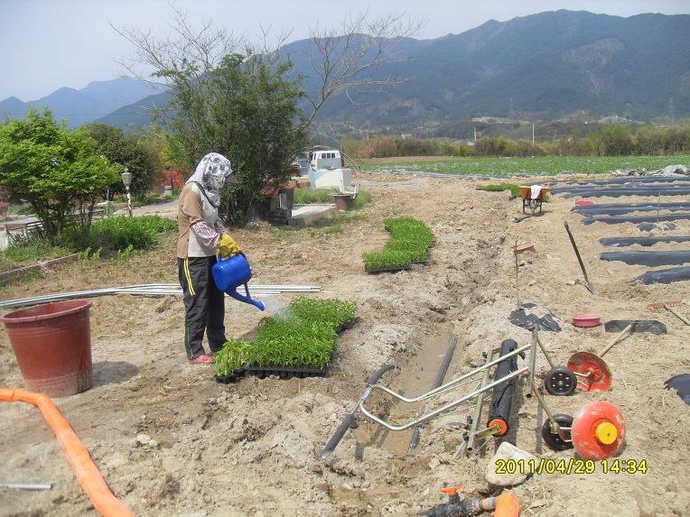Petani tengah menyiram bibit sebelum ditanam.