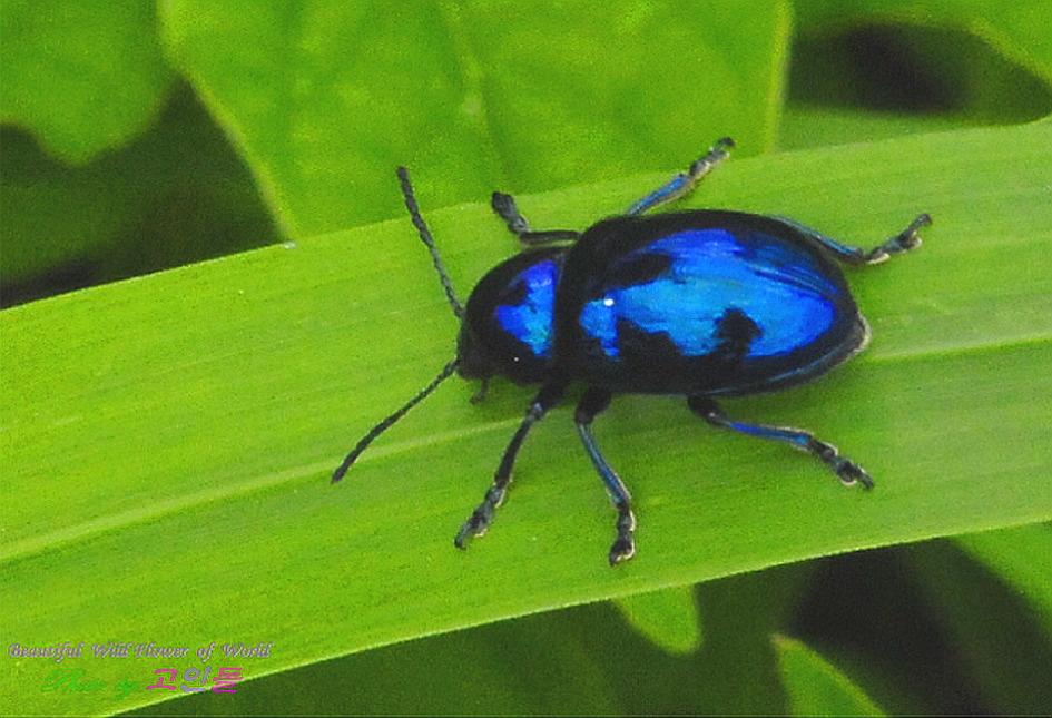 중국청남색잎벌레